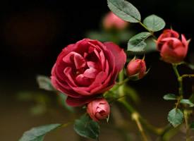 唯美嬌艷的紅玫瑰圖片欣賞