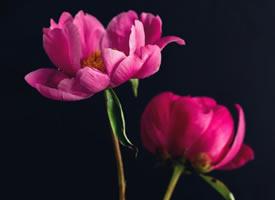 一组超美的芍药花图片欣赏