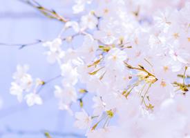 粉色櫻花唯美圖片桌面壁紙