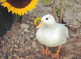 旅行鸭Munchkin,走遍各种美景,真·现充鸭