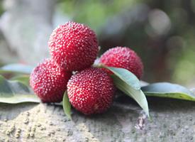 成熟的杨梅呈鲜红色或者暗红色,像桂圆一般大小