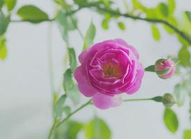 粉色淡雅蔷薇花唯美高清壁纸欣赏