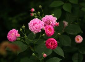 唯美盛开的蔷薇花高清壁纸欣赏