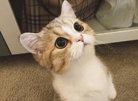 一组超级可爱呆萌的浅橘色小猫咪