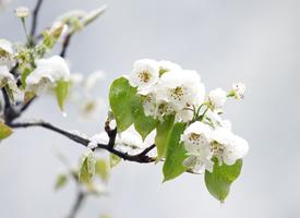 一組綻放的梨花中夾著雪花的唯美圖片欣賞