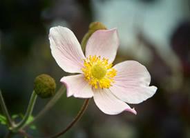 一组欧洲银莲花唯美高清图片欣赏