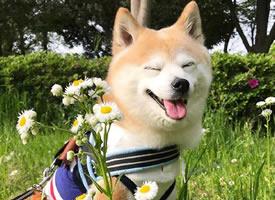 感受一波来自可爱柴犬Sora的明媚笑颜