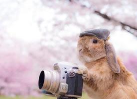 一组沉迷在樱花中的兔子君图片欣赏