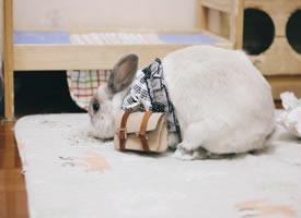 一組超級可愛挎包的小兔子圖片欣賞