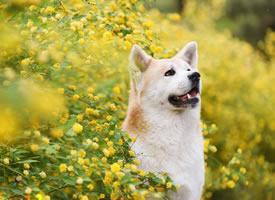 一组为数不多的可爱秋田犬图片欣赏