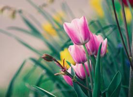 唯美郁金香植物花卉图片桌面壁纸