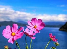 一起去泸沽湖赴一场格桑花开的盛宴