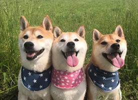 笑容神同步的柴犬三兄妹图片欣赏