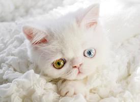 有着异色瞳的小精灵 猫咪 Pam Pam