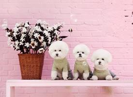 一组白白可爱的小狗狗拍摄图片欣赏