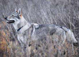 捷克狼犬Vulric,长得最像狼的狗子