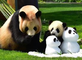 一组超级可爱的小熊猫图片欣赏