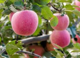一组红红的苹果看到就很有食欲