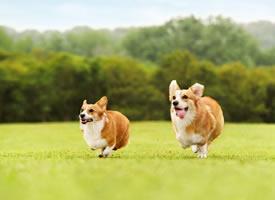 一组超级可爱的小狗狗在草地上的图片