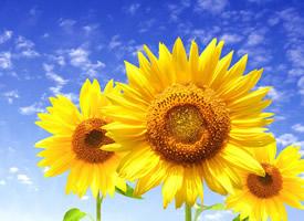 唯美向日葵植物花卉图片桌面壁纸
