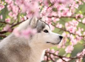 一只在花丛中美美的哈士奇图片欣赏