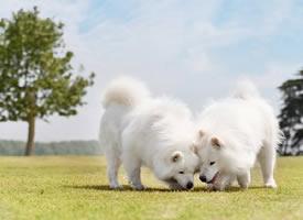 一组白色小狗狗在草坪中的图片欣赏