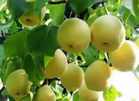 一组挂在树上超级新鲜的梨图片欣赏