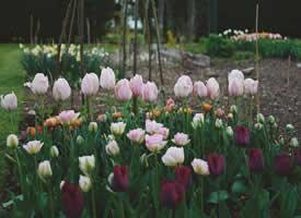 一組盛情綻放美麗的郁金香圖片欣賞