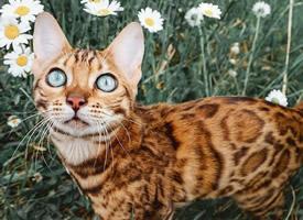 一组冷艳的豹纹小猫咪图片欣赏