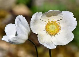 纯白银莲花唯美高清桌面壁纸