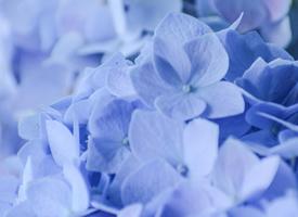 梦幻蓝色绣球花高清桌面壁纸