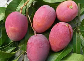 一组红紫色的芒果图片欣赏