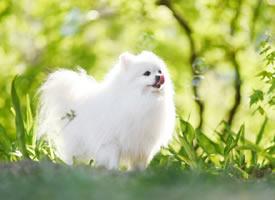 阳光总会给白色狗宝宝镶上金边