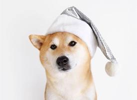 呆萌可爱的柴犬高清?#21482;?#22721;纸