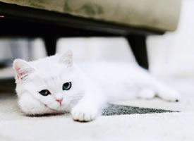 自带眼线的小白猫peral,这么可爱的