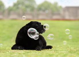 一组乖乖的小黑狗高清图片欣赏