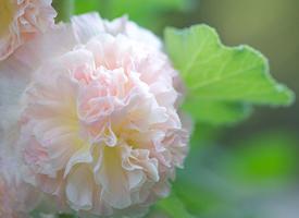 夢幻鮮花唯美高清桌面壁紙