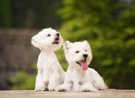 这两只小狗狗分别是Bingo 和Sunday