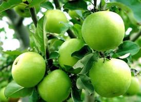 每天坚持吃一个苹果,有利于身体健康