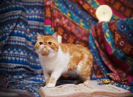 一个高兴就在波西米亚织染的麻布中的猫咪