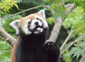 小熊貓在樹上玩耍的模樣圖片欣賞