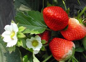 草莓外表鲜嫩,有很多的维生素
