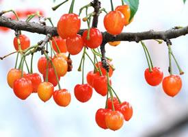 樱桃外表色泽鲜艳、晶莹美丽