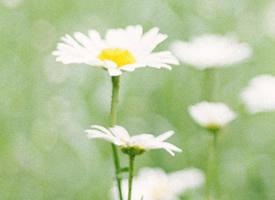一组小清新美丽的雏菊花图片欣赏