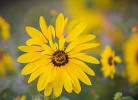 盛开的向日葵高清桌面壁纸