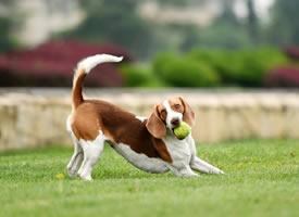 一组可爱的大耳朵狗狗拍摄图片欣赏