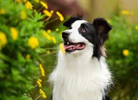 一组黑白色漂亮的狗狗图片欣赏
