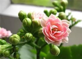 好看的长寿花唯美高清桌面壁纸