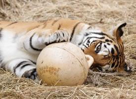 抓拍各种瞬间还都特别有感觉的老虎图片