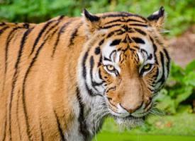 一組霸氣的的森林之王老虎圖片
